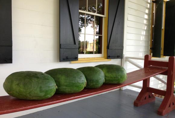 NPR: Saving the Sweetest Watermelon